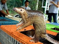 A Malayan pangolin is seen out of its cage in 2002. Police in southern China have arrested three men for dealing in bear parts and other endangered animals including pangolins, some possibly smuggled from Vietnam, the official Xinhua news agency said Tuesday