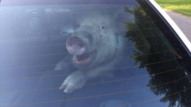 """""""Smiling pig"""" in back of cop car leaves quite a mess"""