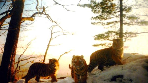 Tigers Making Comeback in Asia