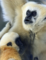 This 2006 photo released by Roger Williams Park Zoo in Providence, R.I., shows Gloria, a gibbon, with her last-born female offspring, Mason, left. Gloria was euthanized Friday, Dec. 21, 2012, after suffering for months with a disease that had symptoms similar to those of Parkinson's. Gloria was born in 1983 at the Minnesota Zoo and has been at the Roger Williams Park Zoo in Providence since 1989. (AP Photo/Roger Williams Park Zoo)