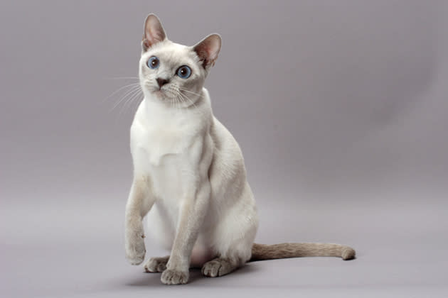 Tonkinese — The Tenacious Talker
