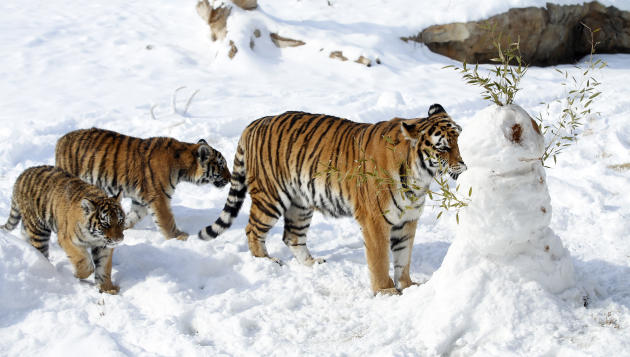 Amur tigers at the Sedgwick County Zoo in Wichita, Kan., play with a snowman created for them on Wednesday, Feb. 5, 2014. (AP Photo/The Wichita Eagle, Jaime Green) LOCAL TV OUT; MAGAZINES OUT; LOCAL R
