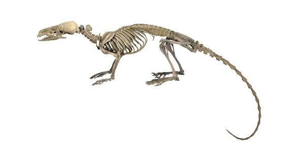hero-shrew-skeleton.jpg1374613645