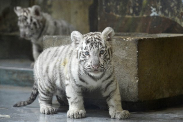 White tiger cubs are seen after a medical examination by veterinary surgeons at Bratislava Zoo