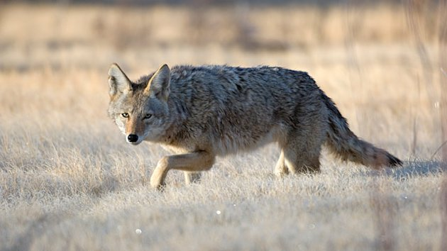 Coyote Killing Contest Sparks Outrage (ABC News)
