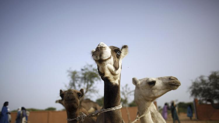 In this picture taken Sunday, July 22, 2012, camels, one with a blue eye, wait to be sold and purchased at the livestock market in the desert village of Sakabal, Niger, 220 kms (140 miles)  north of Maradi.  Eighty percent of Niger's people and 100 percent of the landlocked nation's rural population depend on livestock, including camel, cows, sheep and goats, for some part of their income. For generations, nomads have lived in a precarious equilibrium with the sky above them. When the first rains come, they head north toward the Sahara desert, where the grass is said to be saltier, packed with minerals. They time their movements according to the clouds, waiting for the second major downpour, before making a U-turn to head back to the greener south. If they miscalculate, they can end up stranded. As the grass turns yellow, their animals become too weak to walk. (AP Photo/Jerome Delay)