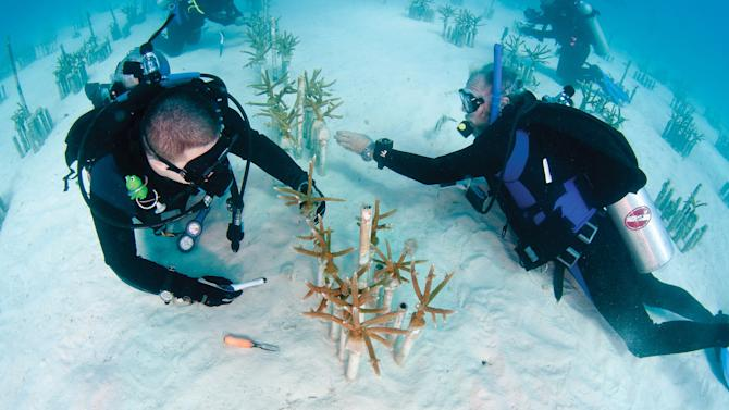 In this undated photo provided by the Florida Keys News Bureau, Ken Nedimyer, president of the Coral Restoration Foundation, works with a volunteer in the foundation's coral nursery situated in the Florida Keys National Marine Sanctuary off Key Largo, Fla. Nediymer partners with Florida Keys hotels and dive operators to offer opportunities for visitors to learn about coral and do volunteer work in the nursery. (AP Photo/Florida Keys News Bureau, Tim Grollimund)