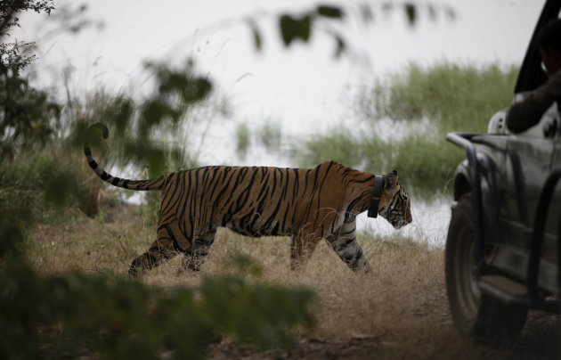 FILE- In this Oct. 22, 2010 file photo, a tiger walks past a vehicle carrying tourists, at Ranthambore National Park in Ranthambore, India. India's top court banned tourism in tiger reserve forests across the country in an effort to save the endangered big cat.(AP Photo/ Mustafa Quraishi,file)