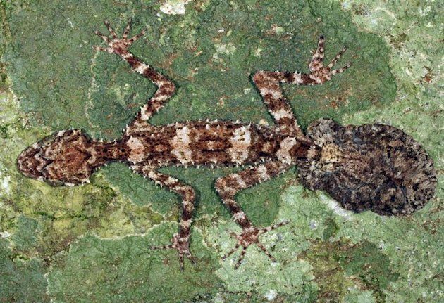 Image provided by Conrad Hoskin of James Cook University Queensland on October 28, 2013 shows the Cape Melville Leaf-tailed Gecko discovered in Australia's Cape York Peninsula