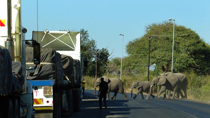 In this July 12, 2014 photo, elephants cross the main highway leading to Zambia in Northern Botswana. Recent years have yielded dire news about ivory poaching in Africa, where conservationists say poachers killed more than 20,000 elephants in 2013 amid rising demand for their tusks in Asia, particularly China. Yet Botswana is a rare bright spot because, the government says, it has about 200,000 elephants and the population is growing. Estimates for the total number of elephants in Africa range from 420,000 to 650,000, according to CITES and other conservation organizations. (AP Photo)