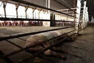 View of a dead pig in a slaughterhouse in Freirina, some 800 km north of Santiago, on May 22. Nearly half a million hogs and sows found at the farm are to be killed after the government closed the meat processing plant there due to health concerns
