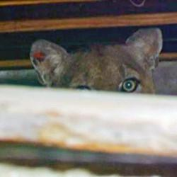 Celebrity Mountain Lion Leaves L.A. Crawl Space, Probably For New York