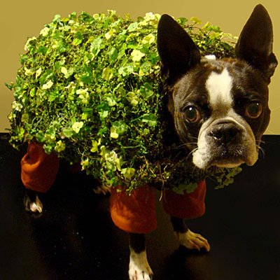Chia Pet