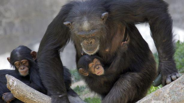 The U.S. Will Retire Most of the Chimpanzees Used for Research