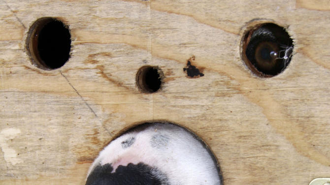 FILE - Mac, one of Jeff Holt's sled dogs, peeks out of its box as he waits to join the team and begin the Iditarod Trail Sled Dog Race in Willow, Alaska, March 8, 2009.  (AP Photo/Al Grillo, File)