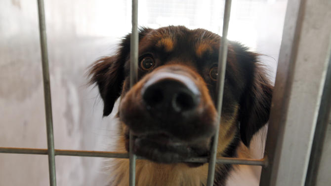 """In this Thursday, June 14, 2012 photo, a dog peers out from his kennel at the Best Friends Animal Society shelter in the Mission Hills area of Los Angeles. Writer Brandon Camp, whose father created """"Benji"""" nearly 40 years ago, and veteran movie trainer Forbes have set out to find a new Benji in a nationwide search that includes online tools and sites that weren't around when the first four Benjis were discovered. (AP Photo/Reed Saxon)"""
