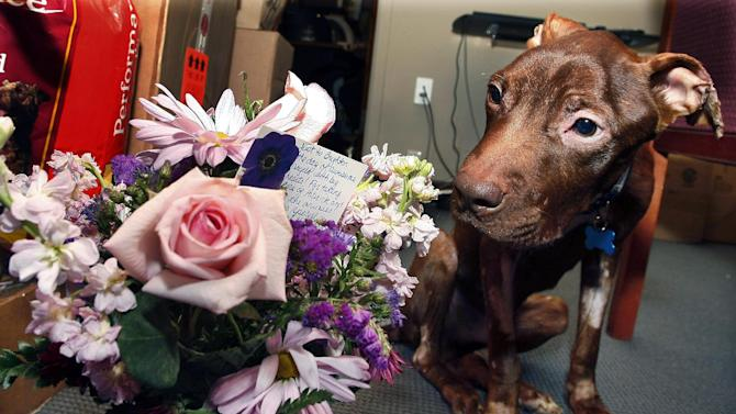 FILE - In this Tuesday, April 5, 2011 file photograph, a one-year-old pit bull nicknamed Patrick sits next to flowers sent by a supporter in Alaska as he recovers at Garden State Veterinary Specialists in Tinton Falls, N.J., after being found starved and dumped in a trash chute. The Essex County Prosecutor's Office says 29-year-old Kisha Curtis pleaded guilty Tuesday, July 30, 2013, in Newark to a count of 4th degree animal cruelty. (AP Photo/Mel Evans,file)