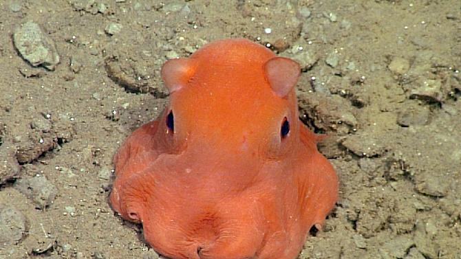 """This handout photo from the Monterey Bay Aquarium Research Institute shows the flapjack octopus, which scientists may call """"Opisthoteuthis Adorabilis"""""""