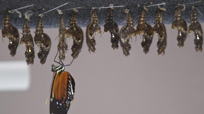 The first shipments of butterflies hang in their cocoons as a Betterfly emerges  Friday, Feb. 15, 2013 at Frederik Meijer Gardens and Sculpture Park. The 18th annual Butterflies are Blooming exhibit opens March 1. (Sally Finneran | MLive)  (AP Photo/The Grand Rapids Press,Sally Finneran ) ALL LOCAL TV OUT; LOCAL TV INTERNET OUT  MBI