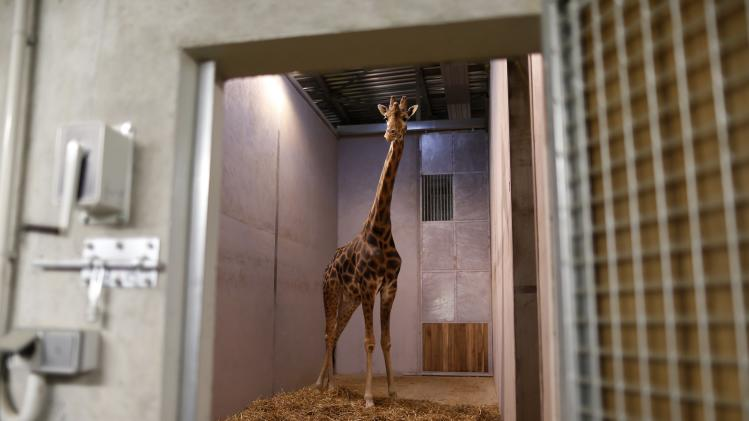 A male giraffe named Benny is seen at the Paris Zoological Park in the Bois de Vincennes in the east of Paris