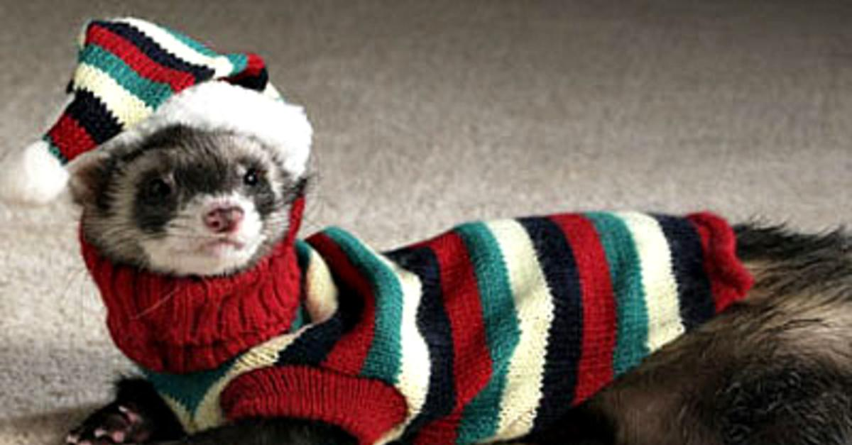 13 Reasons a Ferret is Your Best Friend