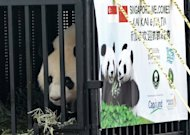Kai Kai, one of two giant pandas on loan from China, looks out from its cage upon its arrival at Singapore's Changi airport on September 6. Singapore on Thursday gave a VIP welcome to a pair of giant pandas loaned by China for 10 years to mark two decades of close diplomatic relations