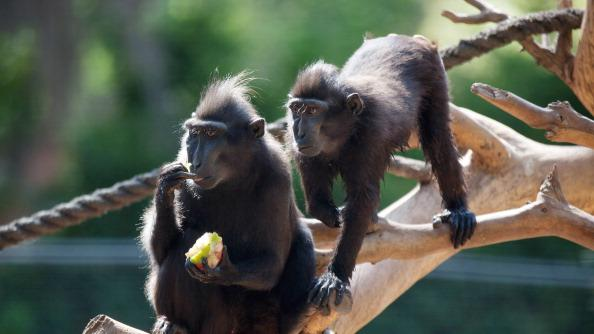 A macaca nigra monkey eats an ice block with frozen fruit to help them cool off at the Ramat Gan Safari Zoo on July 12, 2012 in Ramat Gan, near Tel Aviv, Israel. Temperatures reached a high of 34 Celsius (93 degrees Fahrenheit) in Tel Aviv. (Photo by Uriel Sinai/Getty Images)
