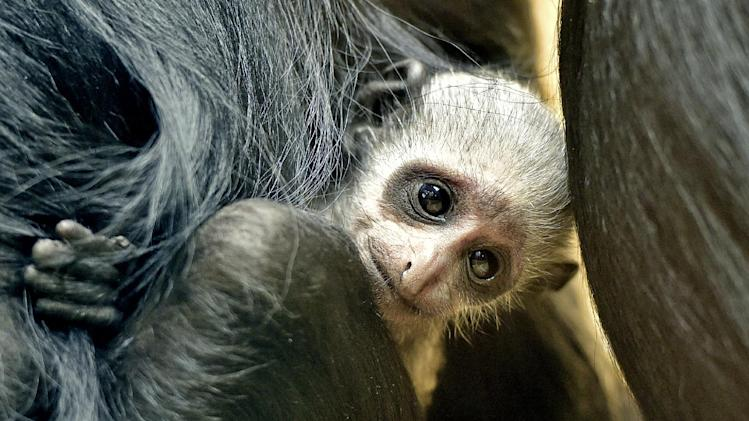 A new born little western black-and-white colobus cuddles with it's mother at the zoo in Duisburg, Germany, Friday, Aug. 29, 2014. The little ape from western Africa is one of only 30 rare animals in Europe. (AP Photo/Martin Meissner)