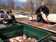 &lt;p&gt;               Fisherman Marcus Mann unloads Asian carp from his boat Wednesday, March 13, 2013, at Kentucky Dam Marina in Gilbertsville, Ky. Wednesday was the final day of what the State Fish and Wildlife department says is the country&#39;s first-ever commercial fishing tournament for the Asian carp. The fast-breeding Asian carp&#39;s exploding population has infested lakes and tributaries all along the Mississippi River. The competition attracted about 20 fishing teams from Kentucky, Indiana and Tennessee. (AP Photo/Dylan Love)