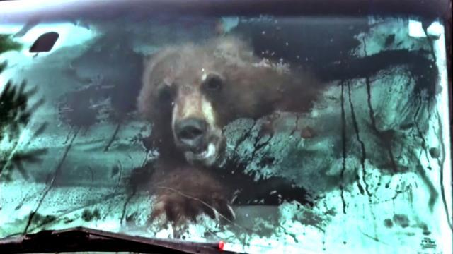 Watch: Bear traps itself inside truck