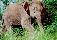 An Asian elephant.