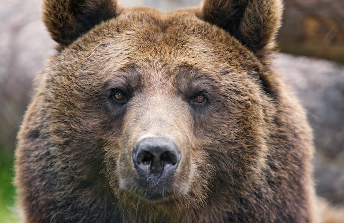 Russian Town Invaded, Ruled by Hungry Bears