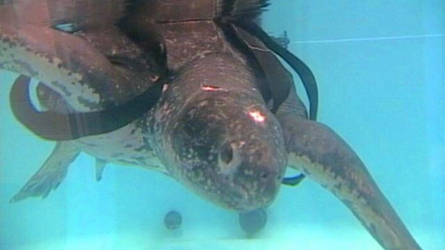 Rescued 655-Pound Sea Turtle Released