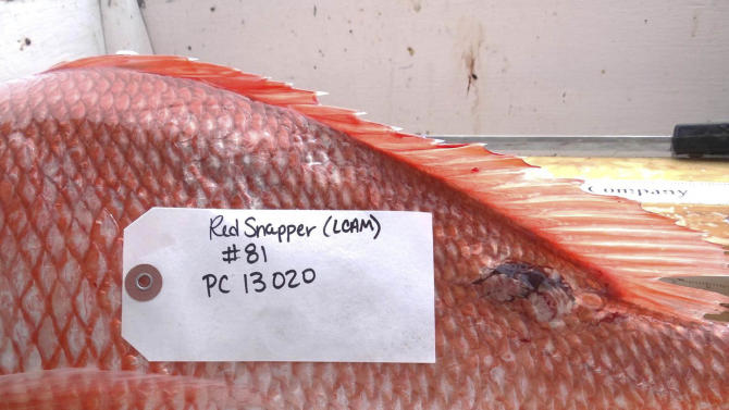 This 2012 photo provided by Steven Murawski shows a fish harvested from the Gulf of Mexico with unusual lesions and infections. Two years after the Deepwater Horizon rig exploded and sank, touching off the worst offshore spill in U.S. history, the latest research into its effects is starting to back up those early reports from the docks: The ailing fish bear hallmarks of diseases tied to petroleum and other pollutants. (AP Photo/Courtesy Steven Murawski)
