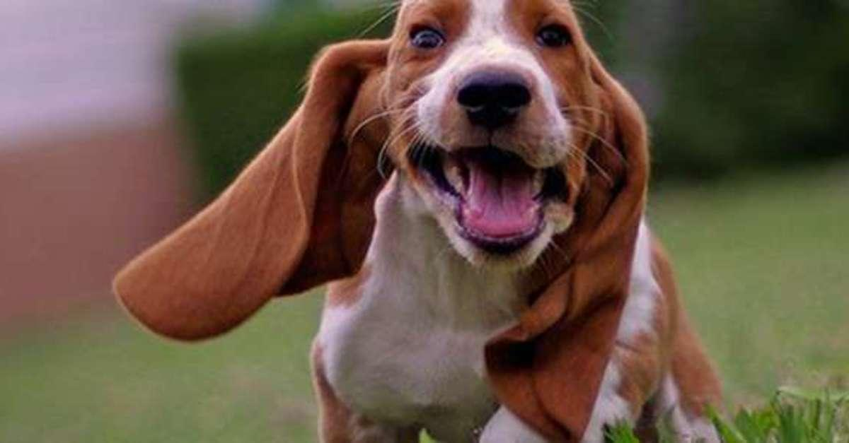 13 Basset Hound Puppies That Are Too Adorable