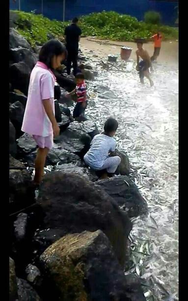 Ikan Tamban Lahad Datu