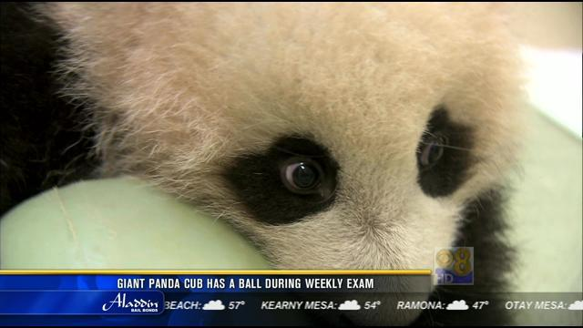 Giant panda cub has a ball during weekly exam