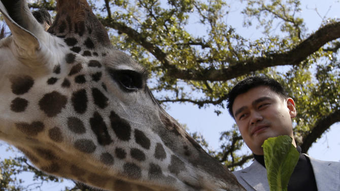 Former Houston Rockets basketball player Yao Ming feeds a giraffe at the Houston Zoo on Thursday, Feb. 14, 2013, in Houston. Yao talked Thursday about his increasing role as an animal-rights activist on the eve of the NBA's All-Star Weekend. He's been an outspoken critic of shark-fin soup and the practice of finning--carving off the shark's valuable fins and discarding their bodies, sometimes while the shark is still alive. (AP Photo/Pat Sullivan)