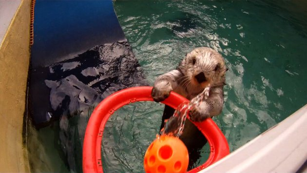 Eddie, a sea otter at the Oregon Zoo, plays basketball in his training pool in Portland, Oregon in this Oregon Zoo handout photo