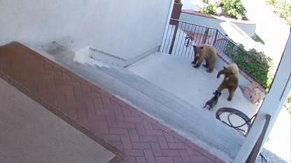 Watch This Fearless French Bulldog Scare Off Three Bears