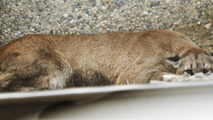 A cougar hides behind a UTA train track as Utah Division of Wildlife Resources try to tranquilize it after it strayed near Jordan Commons in Sandy, Utah Friday, June 27, 2014. Utah authorities have captured the mountain lion that startled shoppers but didn't hurt anybody Friday morning at a shopping center in a Salt Lake City suburb. (AP Photo/The Deseret News, Jeffrey D. Allred) SALT LAKE TRIBUNE OUT; MAGS OUT