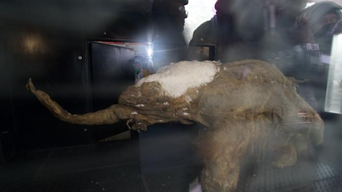 The body of baby mammoth is on display in Moscow, Russia, Tuesday, Oct. 28, 2014. The 39,000-year-old baby mammoth is named Yuka, derived from the Yukagir coastline where she was found. Yuka was found four years ago in the Siberian permafrost and was between six and eleven years old when she died. Scientists call Yuka the best preserved mammoth in the history of paleontology. (AP Photo/Ivan Sekretarev)