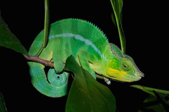 Colorful Find: Madagascar Chameleon Actually 11 Distinct Species