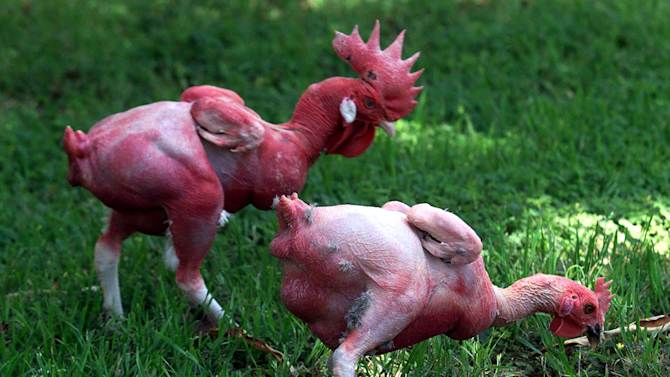 Two featherless chickens peck around in some grass May 22, 2002 at the Hebrew University in Rehovot...