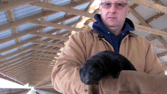In this Feb. 12, 2013 photo Bob Zimbal holds one of his minks near rows of cages at his fur farm in Sheboygan Falls, Wis. Retail fur sales in the U.S. remain in a slump, but the demand for higher quality furs among the newly  wealthy in China has helped push pelt prices to record levels and shielded U.S. farmers like Zimbal from the sluggish economy. (AP Photo/Carrie Antlfinger)