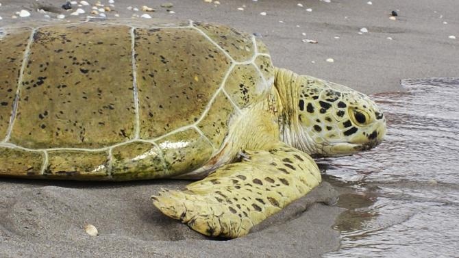File photo of sea turtle Andre during its release into the Atlantic Ocean in Juno Beach