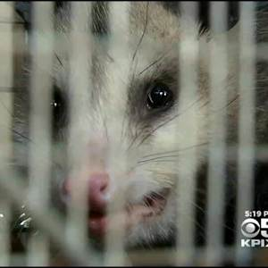 Drought Blamed For Increase In Opossum Reports In South Bay