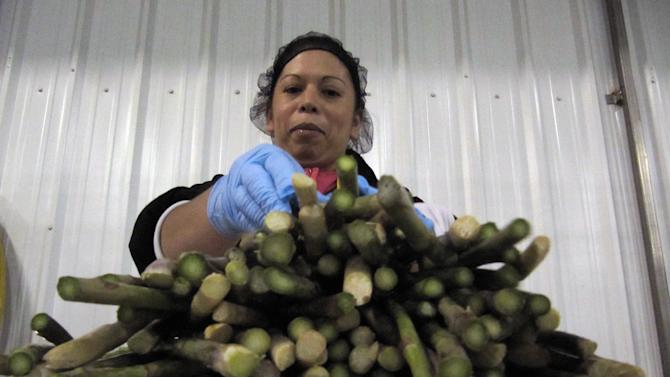 In this April 18, 2012 photo, Teresa Sanchez sorts fresh asparagus at a Gourmet Trading Co. packing plant in Pasco, Wash. U.S. asparagus growers are replanting fields following a decades-long downturn. (AP Photo/Shannon Dininny)