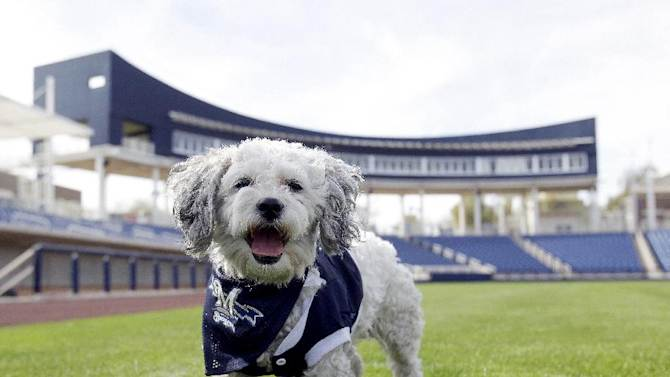 "In this Feb. 22, 2014 photo, Milwaukee Brewers mascot, Hank, is at the team's spring training baseball practice in Phoenix. The team has unofficially adopted the dog and assigned the name ""Hank"" after baseball great Hank Aaron"