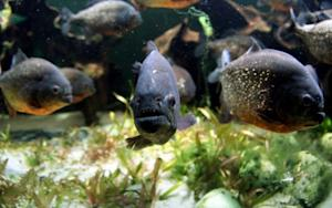 Today's Research: Barking Piranhas, Hallucinatory Smells